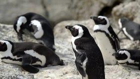 El grupo de pingüinos en los cantos rodados vara en la península Suráfrica del cabo almacen de metraje de vídeo