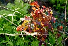 El grupo de roble rojo brillante se va en una rama sobre helechos verdes Fotografía de archivo libre de regalías
