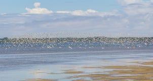 El grupo de Sanderling en Lagoa hace Peixe imagenes de archivo