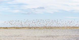El grupo de Sanderlings en Lagoa hace Peixe fotos de archivo