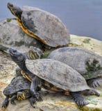 El grupo de tortuga cuelga hacia fuera en una roca Fotos de archivo