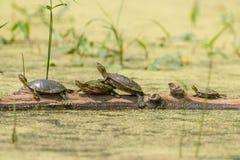 El grupo de tortugas pintadas lindas se alineó derecho un registro rodeado por el agua que es suavemente verde con las semillas y fotos de archivo libres de regalías