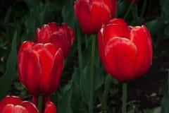 El grupo de tulipanes rojos está creciendo en un prado de la primavera Foto de archivo libre de regalías