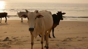 El grupo de vacas está caminando en la playa almacen de metraje de vídeo