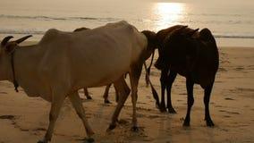 El grupo de vacas está caminando en la playa metrajes