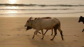 El grupo de vacas está caminando en la playa almacen de video