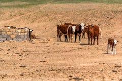 El grupo de vacas se coloca en la tierra seca Imagen de archivo