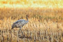 El grus del Grus de la grúa un pájaro joven puede ser visto aquí imagen de archivo