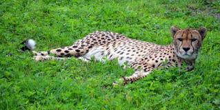 El guepardo fotos de archivo