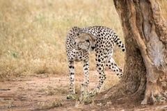 El guepardo camina alrededor de un árbol en una sabana en la reserva del oeste de Tsavo foto de archivo