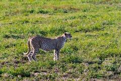 El guepardo es esprinter de la sabana Serengeti, Tanzania Fotografía de archivo