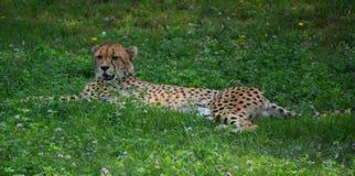 El guepardo es un felino de gran tamaño imagen de archivo