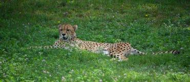 El guepardo es un felino de gran tamaño imagenes de archivo