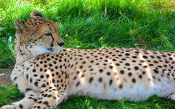 El guepardo es un felino de gran tamaño fotos de archivo libres de regalías