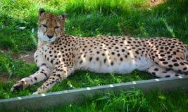 El guepardo es un felino de gran tamaño imagen de archivo libre de regalías