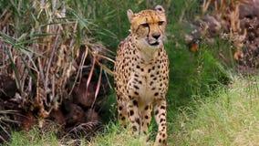 El guepardo hermoso se arrastra con la caza de la maleza para la comida metrajes