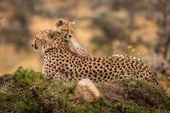 El guepardo miente en el montón con el cachorro soñoliento foto de archivo