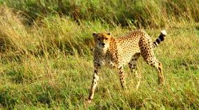 El guepardo mira fijamente abajo Fotografía de archivo libre de regalías