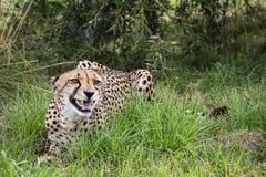 El guepardo, podía ser de risa, sonriente o de gruñido fotos de archivo libres de regalías