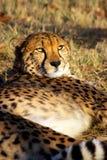 El guepardo tiene un resto Imagenes de archivo