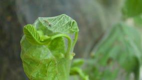 El gusano amarillo de la larva de la mariposa de la oruga se arrastra lentamente detrás del primer de la hoja almacen de metraje de vídeo