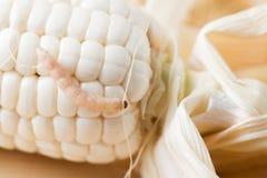 El gusano come el maíz blanco Foto de archivo