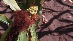 El gusano es un parásito en maíz Agricultura del campo de maíz agricultura Estados Unidos de la hierba verde de la granja del maí Imágenes de archivo libres de regalías