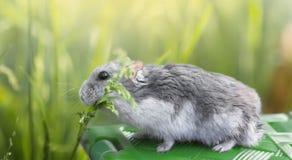 El hámster come la hierba Foto de archivo libre de regalías