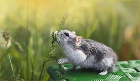 El hámster come la hierba Fotografía de archivo