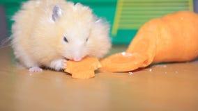 El hámster come zanahorias