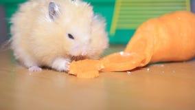 El hámster come zanahorias almacen de video