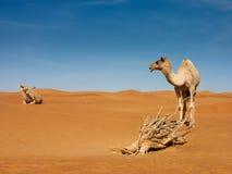 El hablar de dos camellos Fotos de archivo