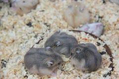 El hablar gris de tres del lovelyand ratas del animal doméstico Fotos de archivo libres de regalías
