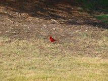 El hacer clic cardinal rojo de la cámara de Male Interested In Fotografía de archivo
