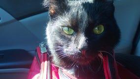 El hacer estallar principal de ojos verdes del ` s del gato fuera de bolso que lleva fotografía de archivo