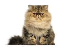 El hacer frente gruñón del gato persa, mirando la cámara Imagen de archivo
