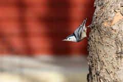 El hacer frente que camina del trepatroncos abajo en un tronco de árbol Imagen de archivo