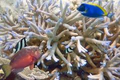 El hacer pequeños pescados del coral azul y rojo Imagenes de archivo