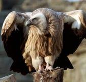 El halcón Imagen de archivo libre de regalías