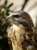 El halcón Fotos de archivo libres de regalías