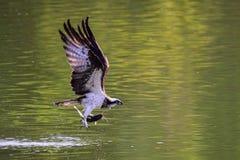 El halcón Foto de archivo libre de regalías