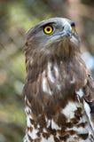 El halcón Foto de archivo