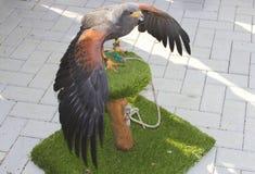 El halcón con la extensión guiña en un tronco de árbol Foto de archivo libre de regalías