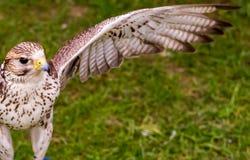 El halcón con un ala enderezada se prepara para sacar contra la perspectiva de hierba, mira de cerca imagenes de archivo