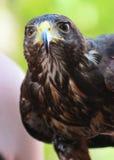 El halcón de Harris imagen de archivo