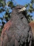 El halcón de Harris Fotografía de archivo