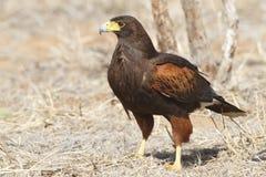 El halcón de Harris (unicinctus de Parabuteo) se encaramó en la tierra - Tex foto de archivo libre de regalías