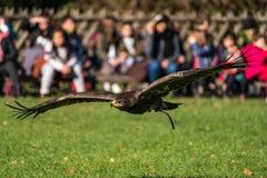 El halcón de Harris, unicinctus de Parabuteo, halcón bahía-con alas o halcón oscuro imágenes de archivo libres de regalías