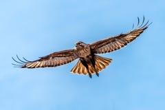 El halcón de la altiplanicie fotos de archivo libres de regalías