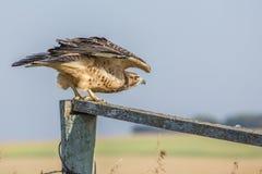 El halcón de Swainson juvenil listo para tomar vuelo imagenes de archivo